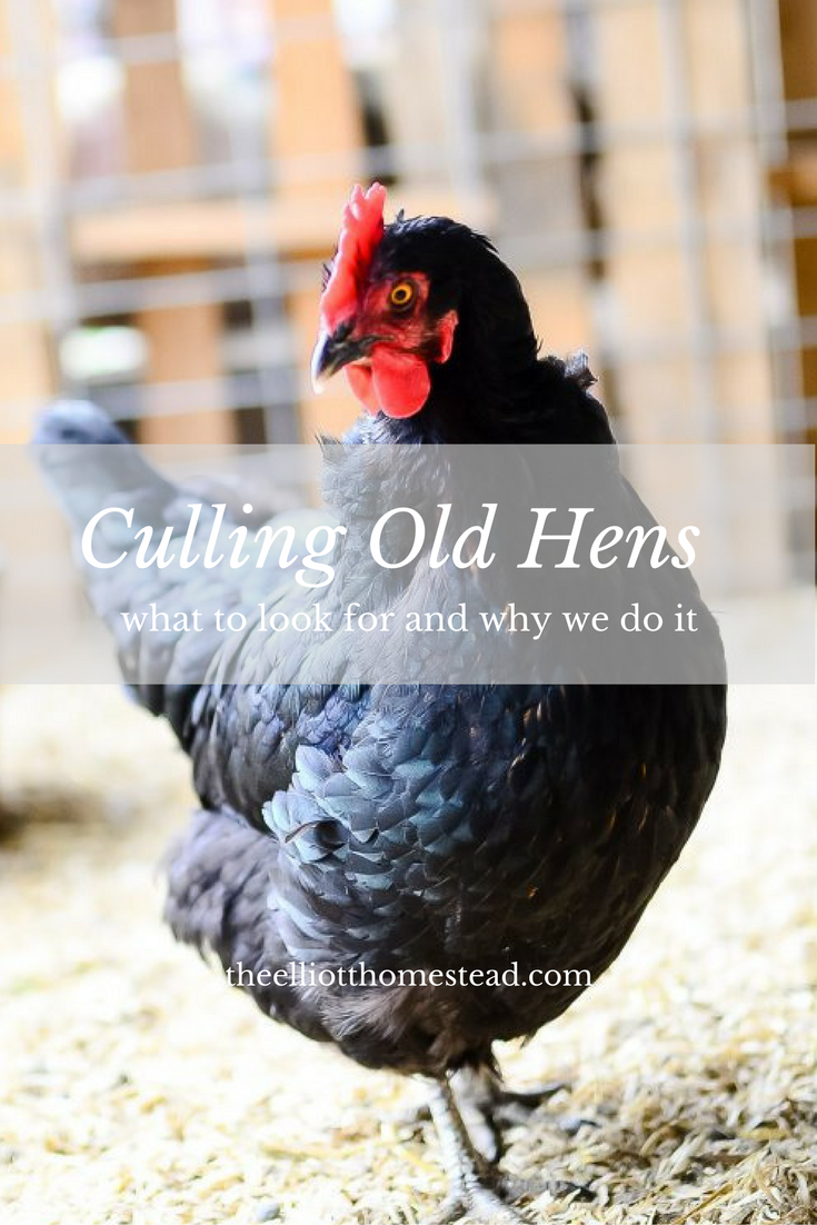 Culling Old Hens (what to look for and why we do it) www.theelliotthomestead.com