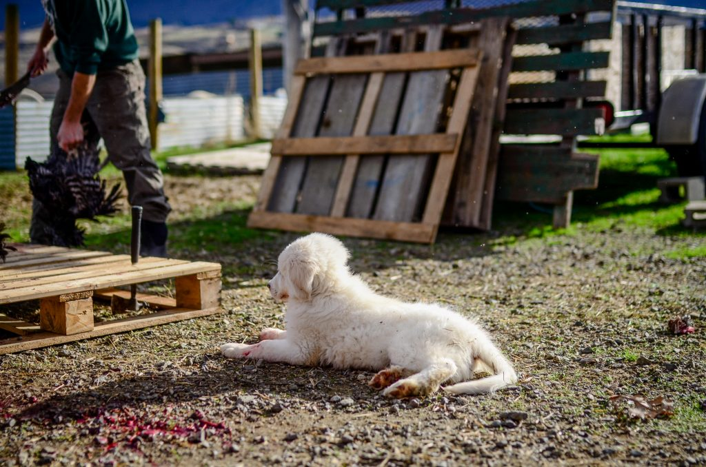 Rex on butchering day | The Elliott Homestead