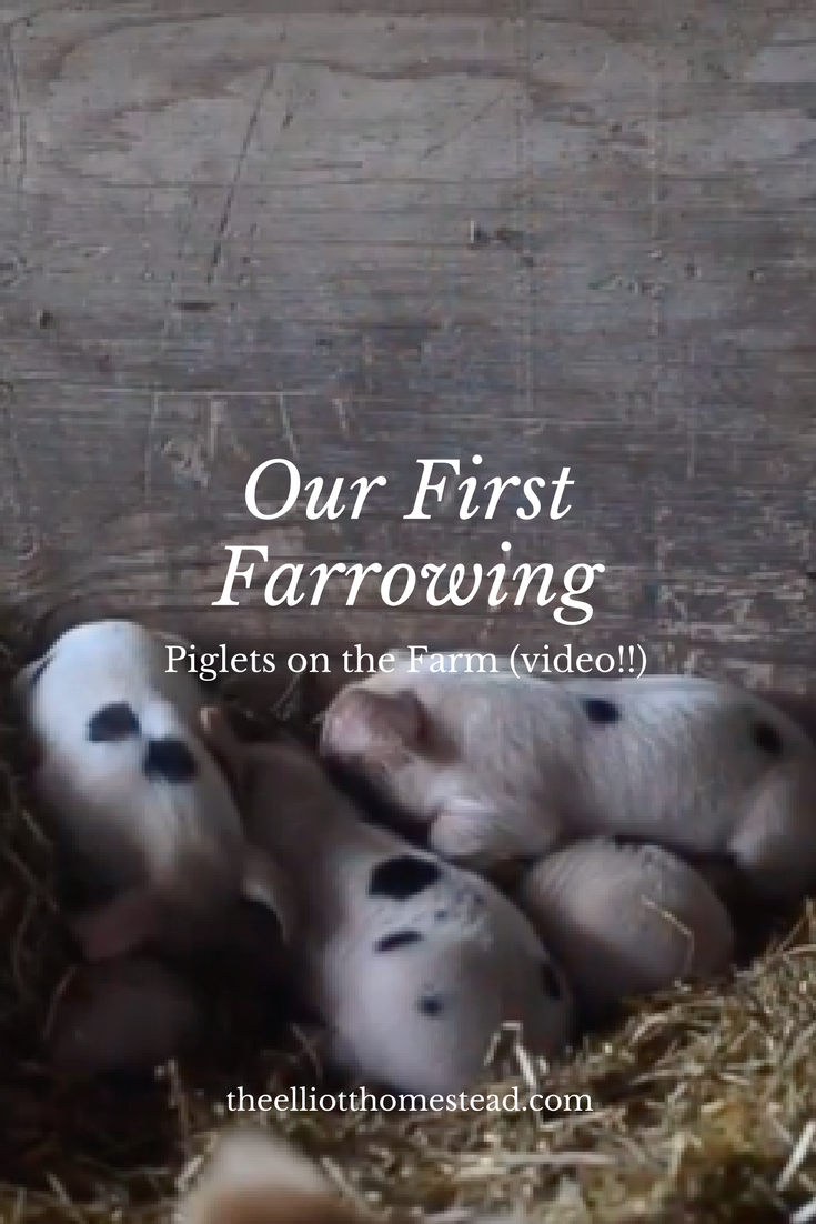 Our First Farrowing: Piglets on the Farm (a video!) www.theelliotthomestead.com