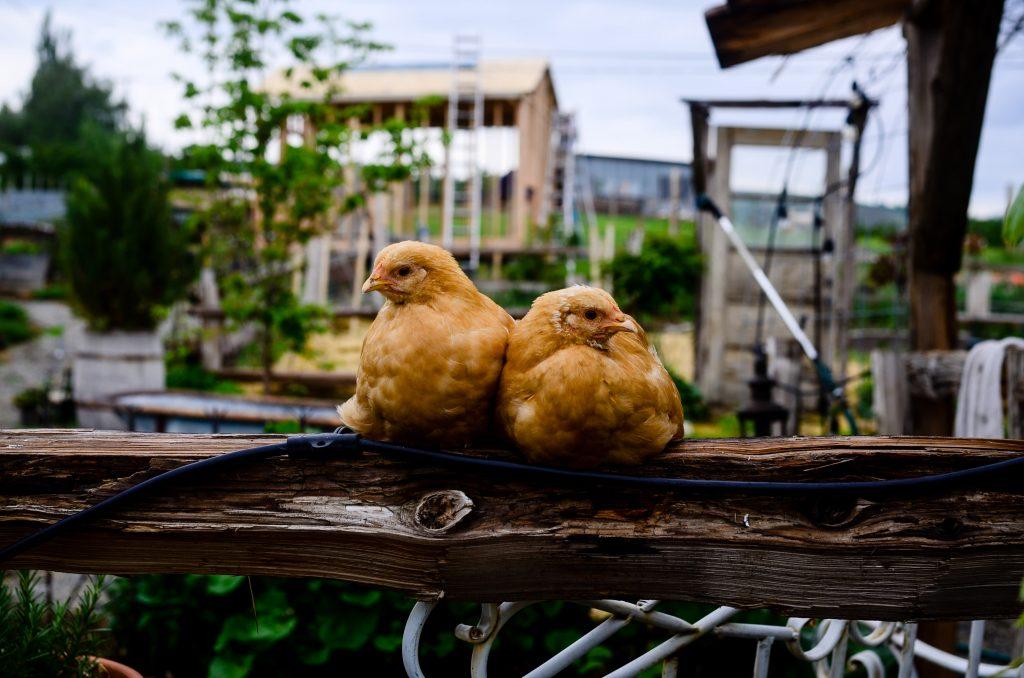 Spring chickens on the farm   The Elliott Homestead