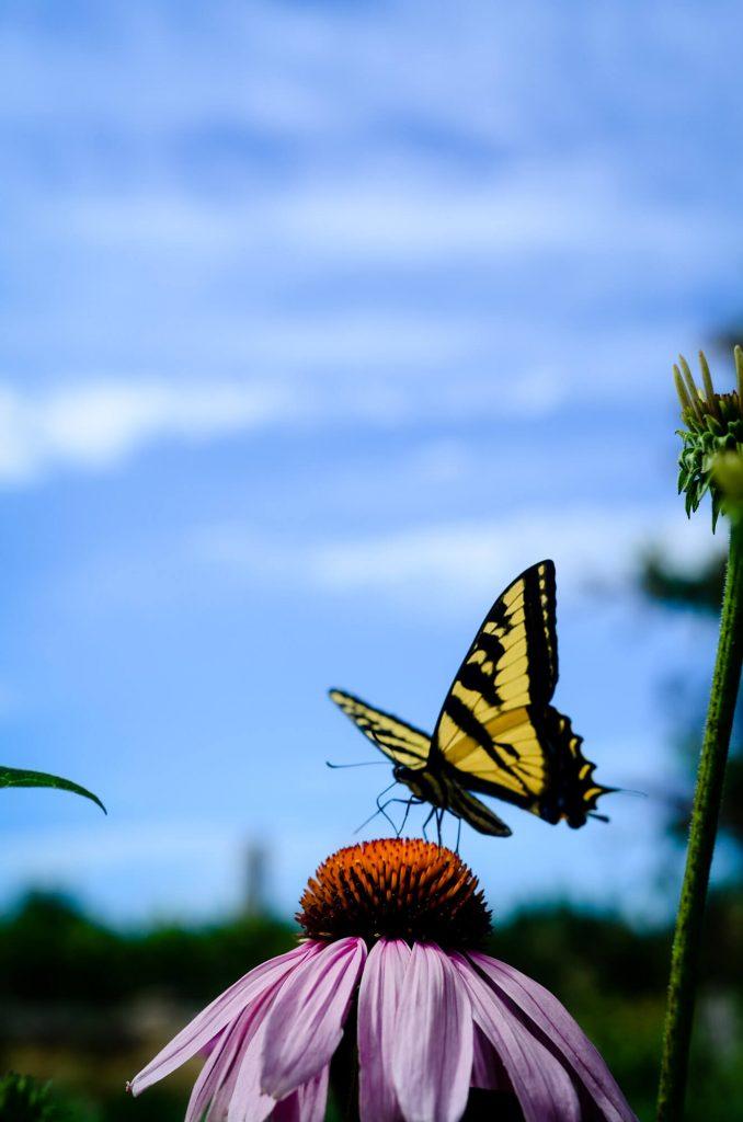 Monarch Butterfly   The Elliott Homestead