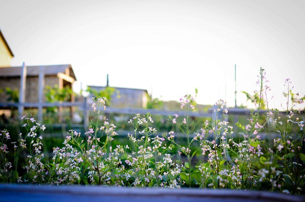 Radish Flowers