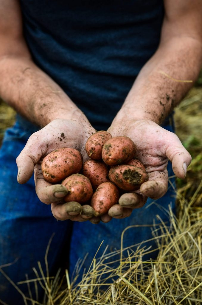 Potato harvest | The Elliott Homestead (.com)