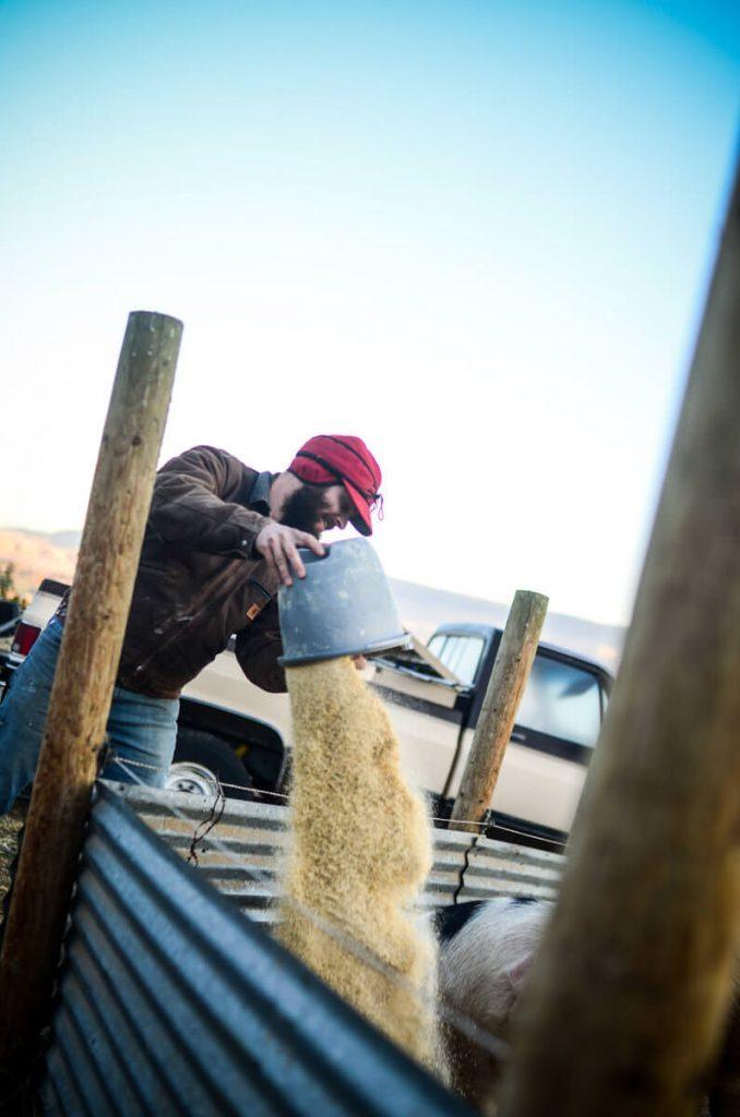 Feeding grain to the pigs at The Elliott Homestead