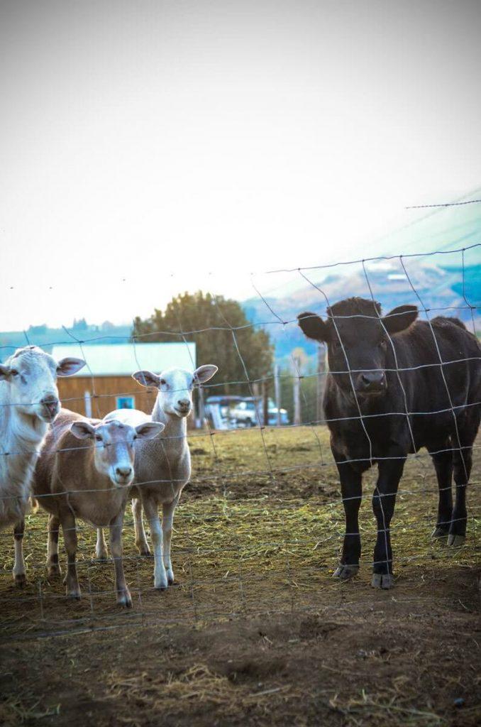 Milk sharing with a calf | The Elliott Homestead