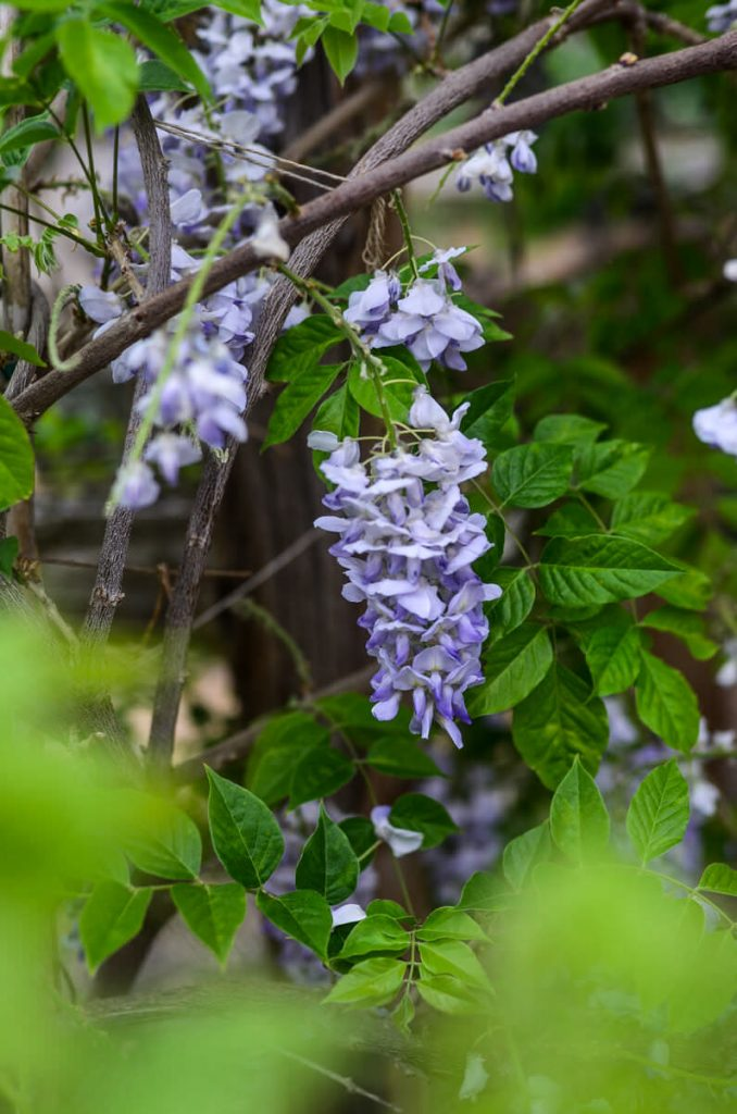 Wisteria | The Elliott Homestead