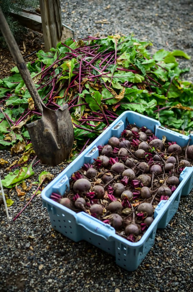 Layering beets for root cellar storage | The Elliott Homestead