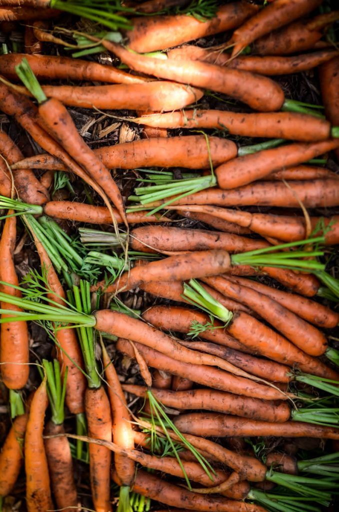 Storing carrots in the root cellar | The Elliott Homestead
