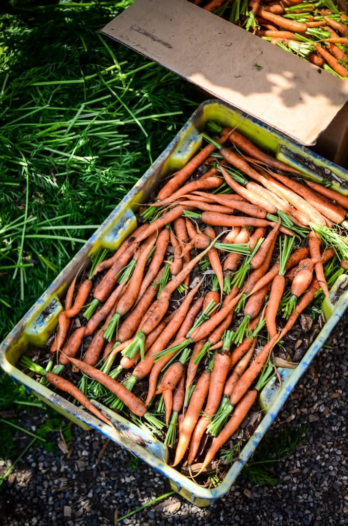 Single layer of carrots for storage | The Elliott Homestead