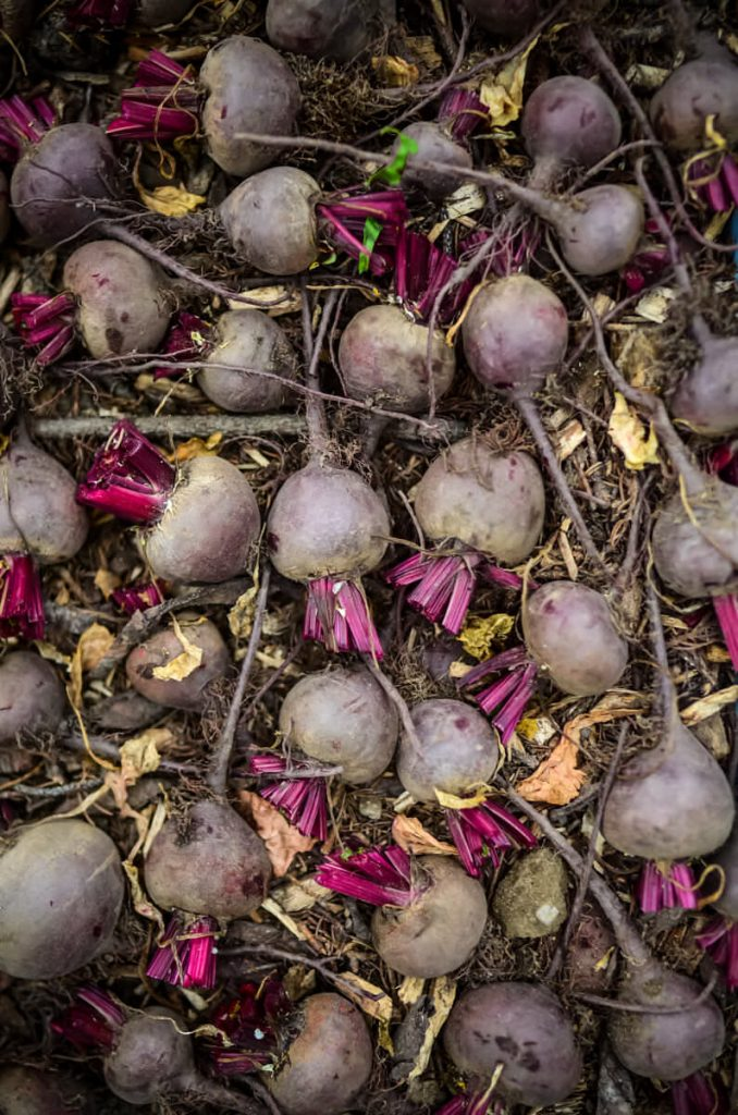 Keeping beets in the root cellar | The Elliott Homestead