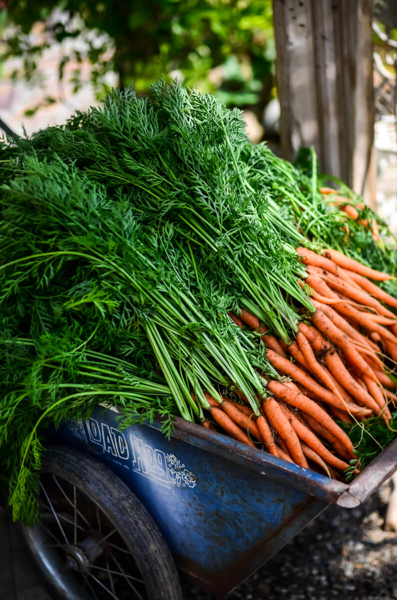 How to store carrots in the basement, cellar, apartment and in the refrigerator How to save carrots for the winter 55