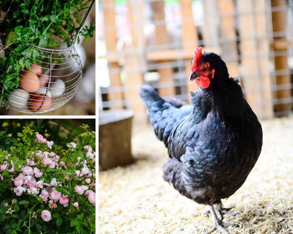 Organic Homemade Chicken Feed. - The