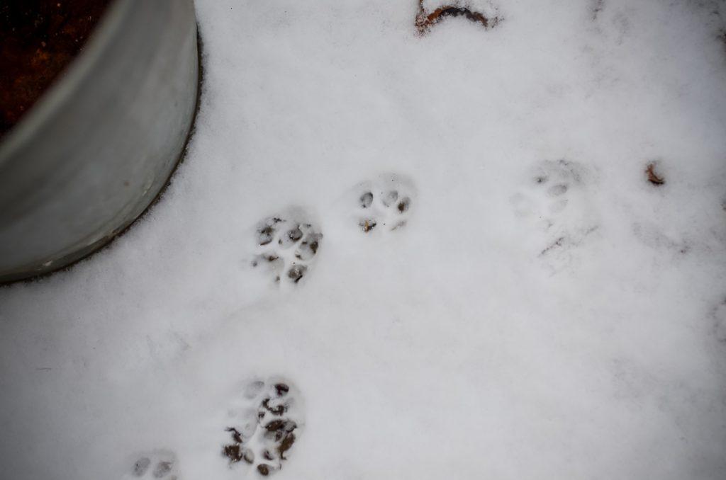 Kitty prints in snow | The Elliott Homestead