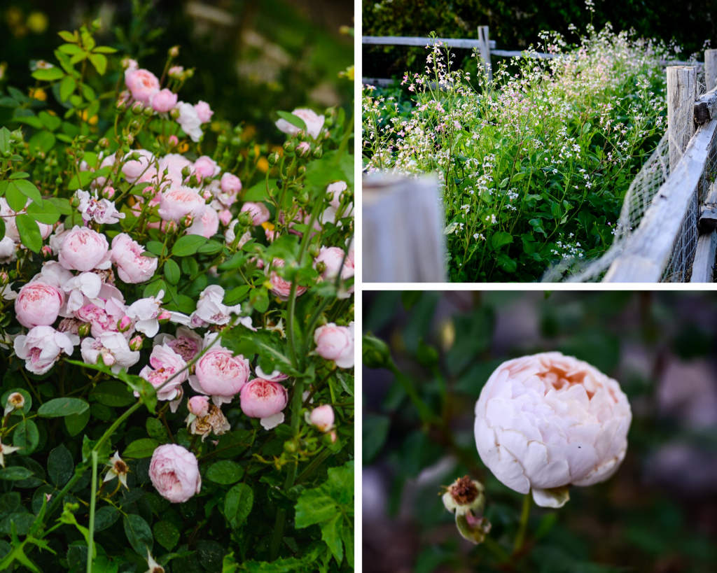English roses you should grow in your garden | The Elliott Homestead