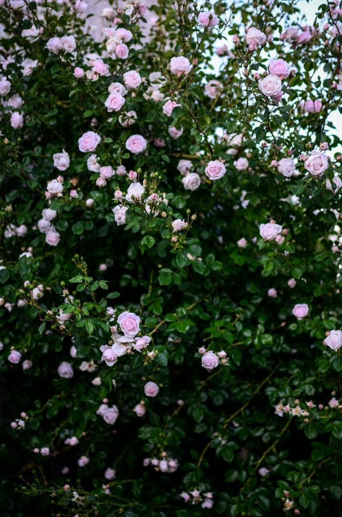 English Roses to Plant | The Elliott Homestead