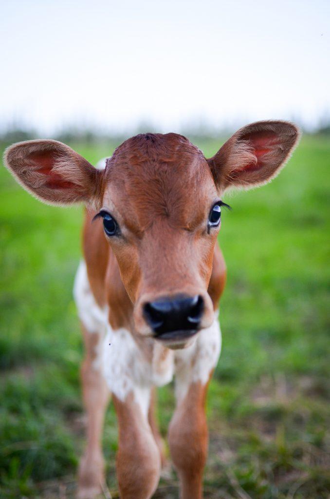 Becoming a Milkmaid | The Elliott Homestead