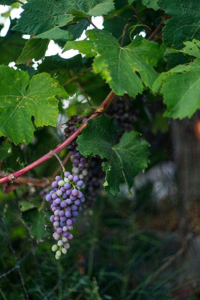 Homemade Raisins | The Elliott Homestead